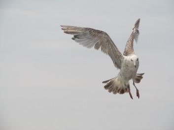 seagull-845371_960_720